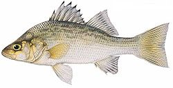 whiteperch
